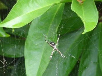 Grenada - Spinne